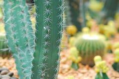 Kolorowy kaktus, zamyka w górę wizerunku rzędy śliczny kolorowy miniatu Zdjęcia Stock