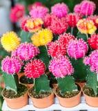 Kolorowy kaktusowy kwiat Obrazy Stock