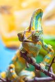 Kolorowy kameleon Ja Obraz Royalty Free