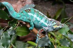 Kolorowy kameleon pokazuje daleko swój piękno zdjęcia royalty free