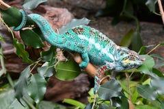 Kolorowy kameleon pokazuje daleko swój piękno fotografia royalty free