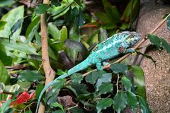 Kolorowy kameleon pokazuje daleko swój piękno zdjęcie stock