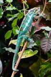 Kolorowy kameleon pokazuje daleko swój piękno fotografia stock