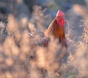 Kolorowy kogut lub walczący kogut w Zdjęcie Stock