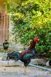 Kolorowy kogut lub walczący kogut w gospodarstwie rolnym Obrazy Royalty Free