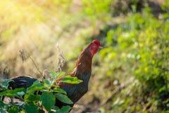 Kolorowy kogut lub walczący kogut w gospodarstwie rolnym Zdjęcie Stock