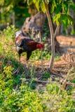 Kolorowy kogut lub walczący kogut w gospodarstwie rolnym Zdjęcie Royalty Free