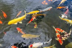 Kolorowy koi ryby dopłynięcie w stawie rybołówstwo obrazy stock