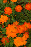 Kolorowy kosmosów kwiaty obraz royalty free