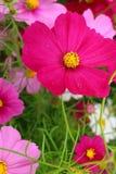 Kolorowy kosmosów kwiaty obraz stock