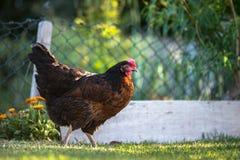 Kolorowy kurczak z zamazanym tłem Zdjęcia Stock