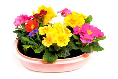 kolorowy kwiatów menchii garnka primula Fotografia Stock