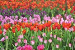 Kolorowy kwiatów tulipanów pole Zdjęcie Royalty Free