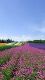 kolorowy kwiat pola Zdjęcie Stock