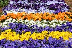 Kolorowy kwiatu dywan robić Dziki pansy lub altówka tricolor mali dzicy kwiaty z płatkami w różnorodnych kolorach gęsto zasadzają obrazy royalty free
