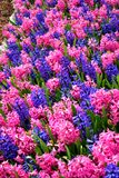 Kolorowy kwiatu pole z błękitem i menchie kwitniemy mieszankę obrazy stock