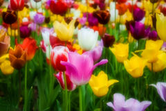 Kolorowy kwiecisty temat z tulipanami w miękka część stylu Zdjęcie Stock