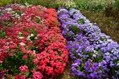 Kolorowy kwitnący ogród, kwiatów lato pełność zdjęcie royalty free