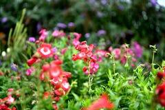 Kolorowy kwitnący ogród, kwiatów lato pełność fotografia royalty free