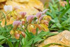 kolorowy lady& x27; s pantoflowa orchidea w Pięknym ogródzie & x28; Paphioped Obrazy Royalty Free