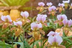kolorowy lady& x27; s pantoflowa orchidea w Pięknym ogródzie & x28; Paphioped Zdjęcia Stock