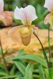 kolorowy lady& x27; s pantoflowa orchidea w Pięknym ogródzie & x28; Paphioped Obrazy Stock