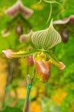 kolorowy lady& x27; s pantoflowa orchidea w Pięknym ogródzie & x28; Paphioped Obraz Stock