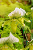 kolorowy lady& x27; s pantoflowa orchidea w Pięknym ogródzie & x28; Paphioped Obraz Royalty Free