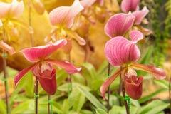 kolorowy lady& x27; s pantoflowa orchidea w Pięknym ogródzie & x28; Paphioped Zdjęcie Stock