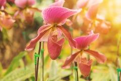 kolorowy lady& x27; s pantoflowa orchidea w Pięknym ogródzie & x28; Paphioped Zdjęcie Royalty Free