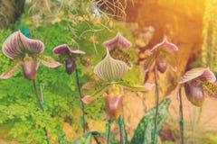 kolorowy lady& x27; s pantoflowa orchidea w Pięknym ogródzie & x28; Paphioped Fotografia Stock