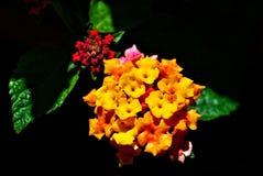 kolorowy lantana Obrazy Royalty Free