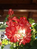 Kolorowy lato - czerwony kwiat w świetle słonecznym zdjęcia stock