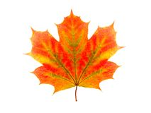 Kolorowy liść klonowy odizolowywający na białym tle zdjęcie royalty free