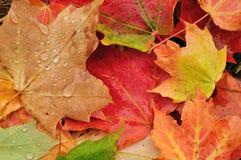 kolorowy liść zamknięty kolorowy klon Fotografia Royalty Free