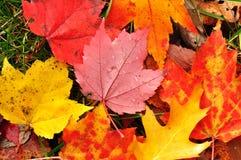 kolorowy liść zamknięty kolorowy klon Zdjęcie Royalty Free