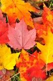 kolorowy liść zamknięty kolorowy klon Obraz Stock