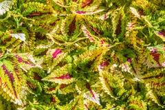 Kolorowy liścia tło Solenostemon, także znać jako Coleus Jaskrawy kolorowy coleus liści wzór dla tła Obraz Stock