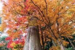 Kolorowy liście klonowi i gigantyczny drzewo w jesieni Zdjęcie Stock