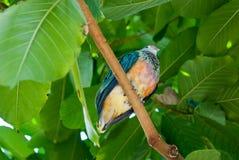kolorowy lorikeet Zdjęcie Royalty Free