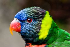 kolorowy lorikeet ptak Obrazy Royalty Free