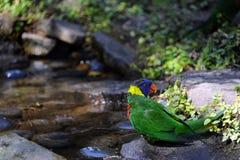 Kolorowy Lorikeet zdjęcie stock