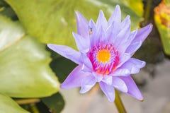 Kolorowy Lotosowy kwiat obraz royalty free