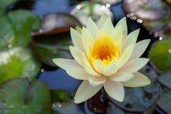 Kolorowy lotosowych kwiatów kwiat w ranku zdjęcia royalty free