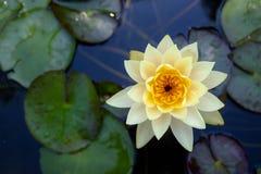 Kolorowy lotosowych kwiatów kwiat w ranku obraz royalty free