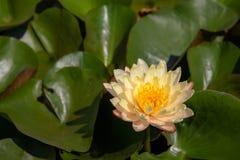Kolorowy lotosowych kwiatów kwiat w ranku zdjęcie royalty free