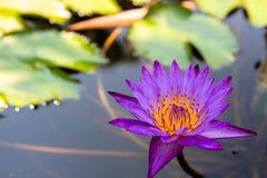 Kolorowy lotosowych kwiatów kwiat w ranku fotografia stock