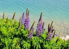 Kolorowy Lupine kwitnie w Nowa Zelandia fotografia royalty free