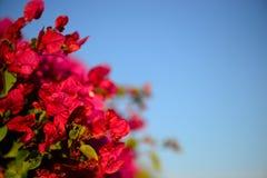 Kolorowy makro- kwiatu tło z niebieskim niebem Delikatnie menchia kwiaty z bliska Kwiatu tło z kopiuje przestrzeń Zdjęcia Royalty Free