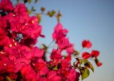 Kolorowy makro- kwiatu tło z niebieskim niebem Delikatnie menchia kwiaty z bliska Kwiatu tło z kopiuje przestrzeń Obrazy Stock